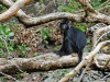 National Park of Pangandaran - Black Monkey
